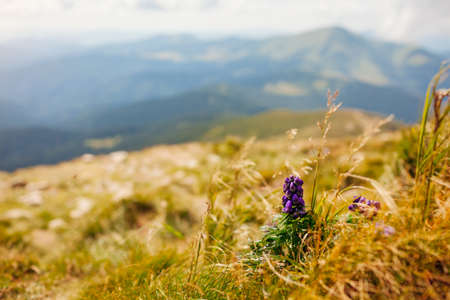 View of summer mountain landscape in Carpathians with poisonous purple Aconite, monks-hood blooming in grass. Natural field meadow background