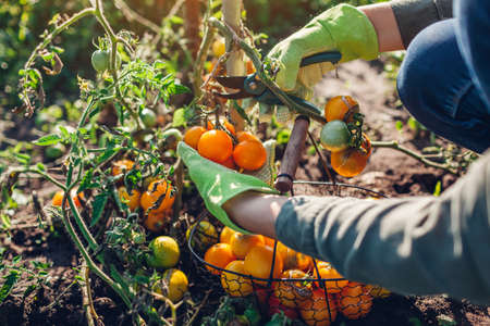 Woman farmer harvesting tomatoes cutting branch with pruner. Gardener puts vegetables in basket. Eco farm. Fall crop