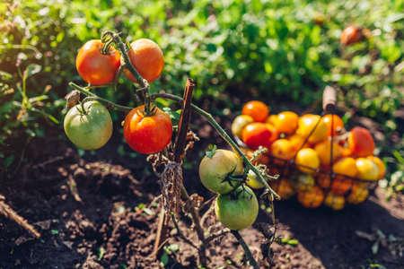 Picking tomatoes harvest in basket. Gathering autumn summer crop of vegetables. Farming, gardening, growing healthy food Archivio Fotografico