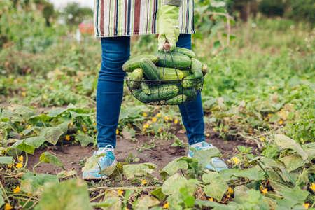 Farmer holding basket full of cucumbers. Gardener harvesting vegetables. Summer crop. Growing healthy organic food. Agriculture Archivio Fotografico