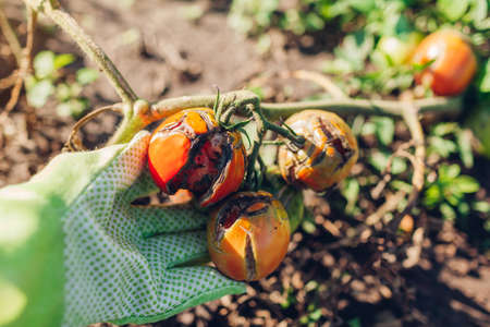 Tomatoes infected with late blight or Phytophthora. Close up of cracked tomatoes with disease and rot in farmer's hand. Overwatering of vegetables Foto de archivo