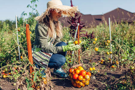 Woman farmer putting tomatoes in basket in summer garden. Picking fall crop of vegetables. Harvesting time on eco farm