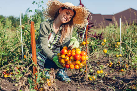 Woman farmer holding basket of tomatoes in summer garden. Picking fall crop of vegetables. Harvesting time on eco farm Archivio Fotografico
