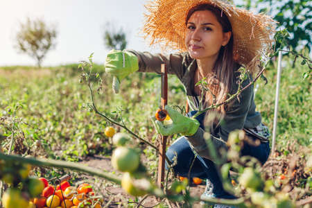 Young farmer holding tomato infected by phytophthora and showing thumb down. Upset gardener woman holds deseased vegetable picking harvest Foto de archivo