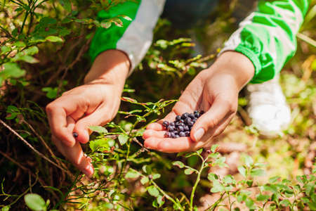 Woman picking wild bilberries in summer forest in Carpathian mountains. Handful of tiny dark blue berries for snack.