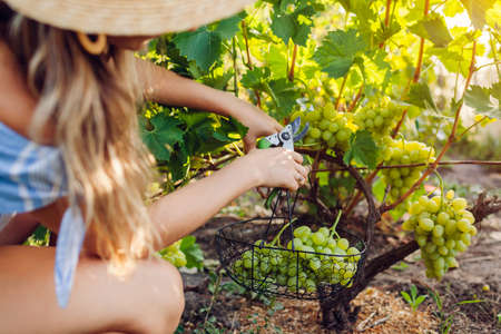Farmer gathering crop of grapes on ecological farm. Woman cutting table grapes with pruner and puts it in basket