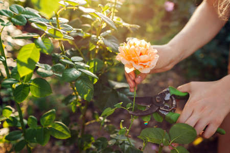 Gardener picking flowers in summer garden. Young woman cutting roses off with pruner. Gardening concept