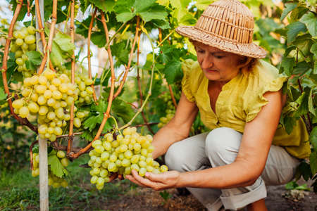 Senior farmer picking crop of grapes on ecological farm. Woman cutting green table grapes with pruner Foto de archivo