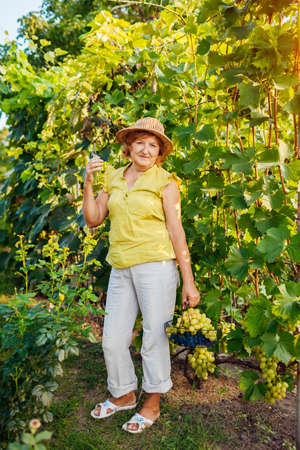 Happy senior farmer picking crop of grapes on ecological farm. Woman holding basket with table grapes and pruner