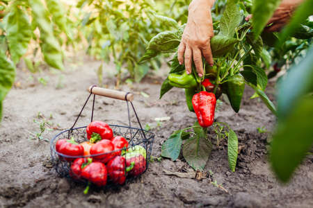 Harvesting red peppers. Senior woman farmer picking fall crop of vegetables on farm putting in basket. Agriculture. Foto de archivo