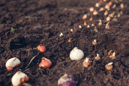 Fall bulbs planting. Tulip, narcissus, crocus, hyacinth bulbs ready to put in soil. Spring gardening work. Planting spring flowers Foto de archivo