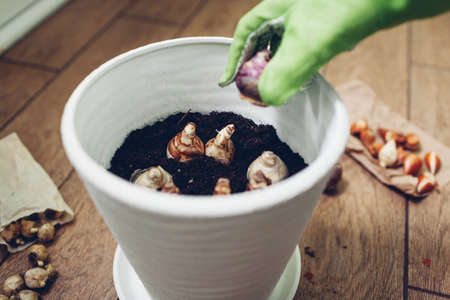 Gardener planting bulbs in pot at home. Narcissus, hyacinth bulbs growing. Autumn gardening work. Planting spring flowers in container