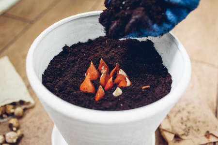 Gardener planting bulbs in pot at home. Tulip bulbs growing in container. Autumn gardening work. Hobby