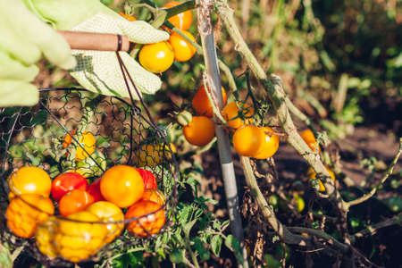 Woman farmer putting yellow tomatoes in basket on summer farm. Picking fall crop of vegetables. Harvesting time on eco farm