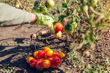 Woman farmer putting tomatoes in basket on summer farm. Picking fall crop of vegetables. Harvesting time on eco farm