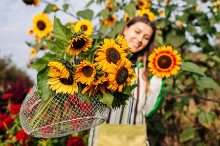 Woman gardener holding bouquet of yellow lime sunflowers in summer garden. Picking cut flowers harvest in metal basket. Close up