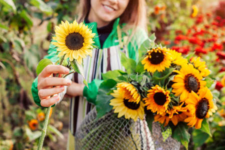 Woman gardener holding bouquet of yellow lime lemony sunflowers with dark center in summer garden. Cut flowers harvest picking. Close up
