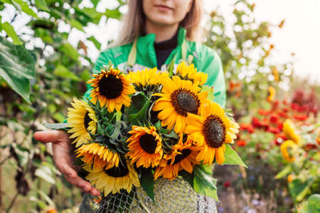Woman gardener holding bouquet of yellow lime sunflowers in summer garden. Cut flowers harvest picked in metal basket. Close up