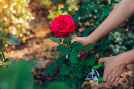 Gardener picking flowers in summer garden. Young woman cutting red roses off with pruner at sunset. Gardening concept Foto de archivo