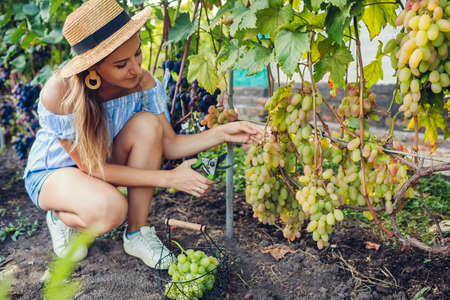 Farmer picking crop of grapes on ecological farm. Woman cutting table grapes Anniversary of Novocherkassk with pruner and puts it in basket. Gardening, farming concept Foto de archivo