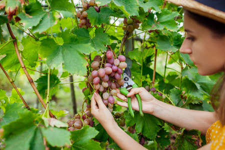 Farmer gathering crop of grapes on ecological farm. Woman cutting table grapes livia with pruner. Gardening, farming concept