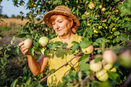 Senior woman picking ripe organic apples in summer orchard. Farmer checking fruits hanging on branch. Gardening and farming