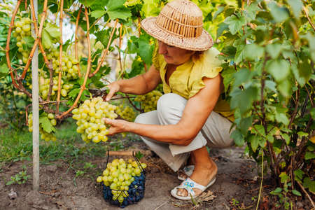 Senior farmer picking crop of grapes on ecological farm. Woman cutting green table grapes with pruner in orchard. Gardening, farming concept Foto de archivo
