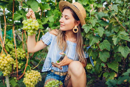 Farmer gathering crop of grapes on ecological farm. Woman cutting Arkadia table grapes with pruner and puts it in basket. Gardening, farming concept