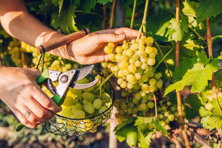 Farmer gathering crop of grapes on ecological farm. Woman cutting table grapes with pruner and puts it in basket. Gardening, farming concept Foto de archivo