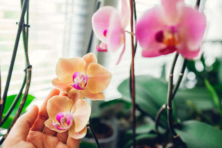 Woman enjoys orchid flowers on window sill. Girl taking care of home plants. Orange Golden apple and pink Narnonne blooming Foto de archivo