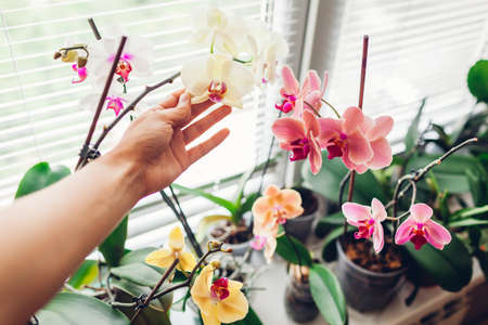 Woman enjoys orchid flowers on window sill. Girl taking care of home plants. Orange Golden apple, Narnonne, Mountion blooming