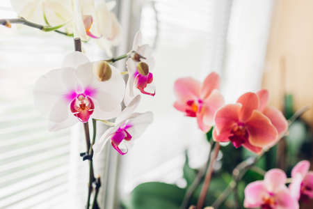 Close-up of white and purple Mountion, coral Narbonne orchid on window sill. Home flowers growth. Gardening hobby