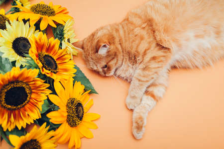 Ginger cat lying next to bunch of colorful sunflowers on orange background. Pet enjoying flowers Foto de archivo