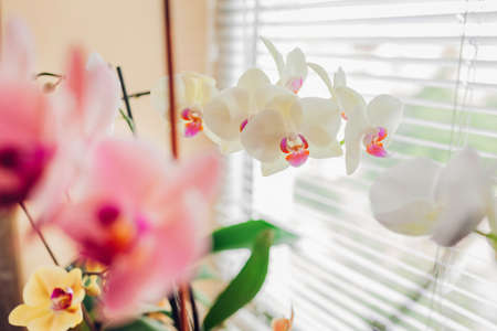 Close-up of pale yellow orchid near coral and white. Home flowers growing on window sill. Gardening hobby Foto de archivo