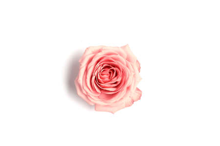 Beautiful pink rose isolated on white background. Top view. Copy space.