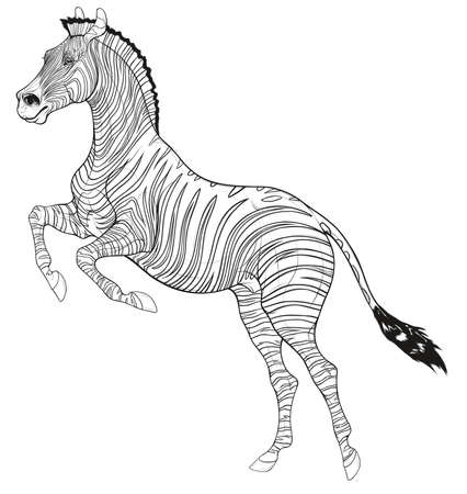 Plains zebra reared before jumping. Striped stallion laid its ears back and stands on its hind legs. Black and white vector design element for african wildlife tourism and coloring books. Illustration