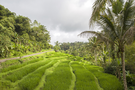 Rice terrace in Bali with palm trees around Stock Photo