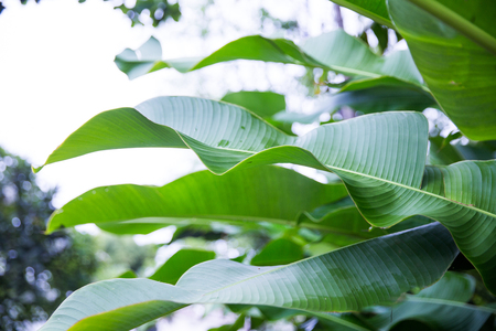 Tropical banana leaf texture with sunlights. Big palm foliage nature green background.