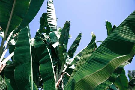 Tropical banana leaf texture, large foliage nature background 스톡 콘텐츠 - 150838978