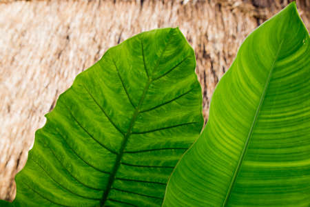 Big fresh green palm leaf from bottom view. Bali, Indonesia. Nature concept. 스톡 콘텐츠