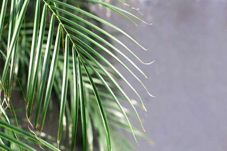 Tropical Palm Green leaves for nature pattern and background, Textured wall toned for input text.