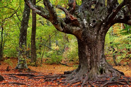 Majestic old tree with big trunk Фото со стока