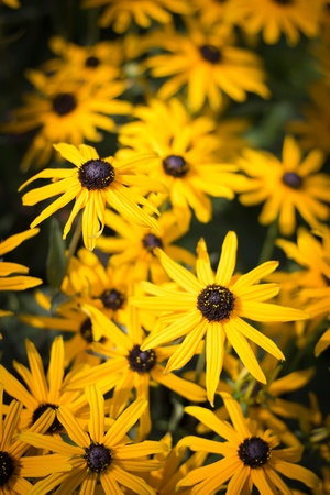 yellow flowers with black centers