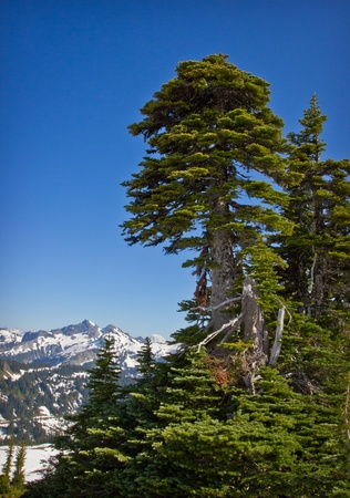 evergreen tree and snow covered mountains in the pacific northwest part of the united states