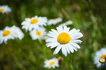 Beautiful chamomile growing in the meadow Фото со стока