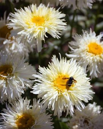 a bumble bee and white daisies