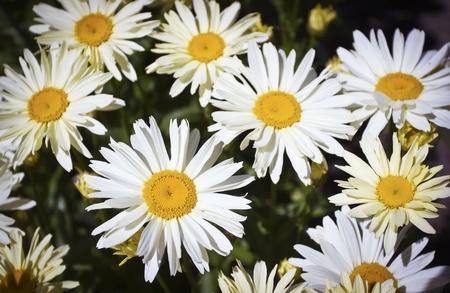 Beautiful daisies growing in the meadow Фото со стока