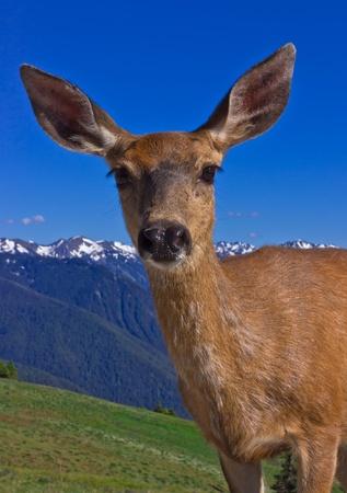 deer in olympic national park, washington