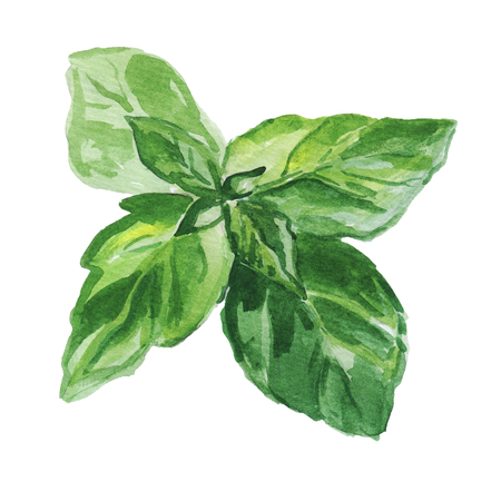 Watercolor illustration of fresh basil leaves isolated on white background.