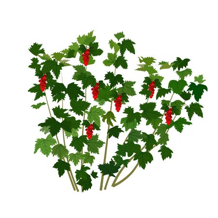 Vector stock illustration of a currant Bush. Red ripe berries close-up. Shrub in the form of a green hedge. Ornamental plant. In the garden or in the Park.Isolated on a white background